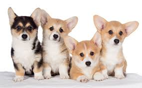 corgi puppies aren u0027t royalty family
