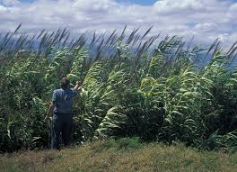 define native plant arundo donax wikipedia