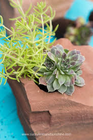 cold hardy succulent rock garden succulents and sunshine