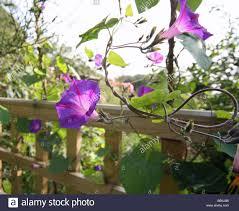 ornamental bindweed convolvulus growing up a trellis stock photo
