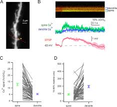 electrical and ca2 signaling in dendritic spines of substantia