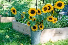 teddy sunflowers growing sunflowers soraya teddy