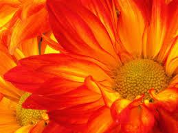 google images flower how to grow mums hgtv