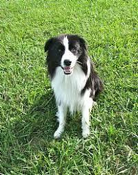 affenpinscher puppies for sale in ohio border collie breeders and border collies for sale