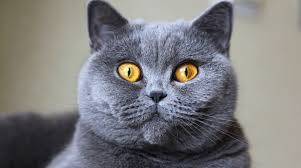 amazing 5 things to know about british shorthair cats u2013 petful