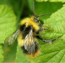 early bumblebee naturespot