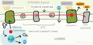 What Happens During The Light Dependent Reactions Of Photosynthesis Photosynthesis The Light Dependent Stage And Calvin Cycle