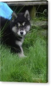 baby wolf canvas prints page 9 of 20 america