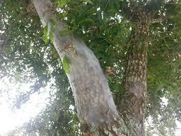 webs on barrel oak tree trunk ask an expert