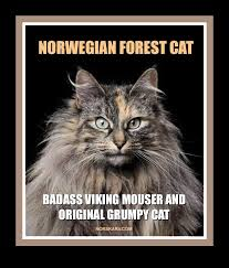 Norway Meme - norwegian forest cat meme badass viking mouser and original grumpy