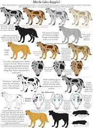 australian shepherd double coat the merle coat color explained aussiedoodle and labradoodle