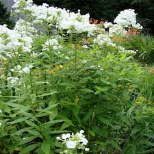 the garden oracle perennial flower plants page 3 gardening
