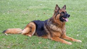 belgian sheepdog intelligence police canines in history dogs for law enforcement