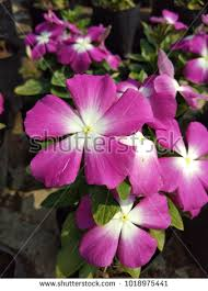 vinca flower vinca flower stock images royalty free images vectors