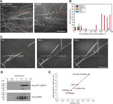 a novel isoform of map4 organises the paraxial microtubule array