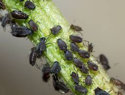 an index of common tree insect pests