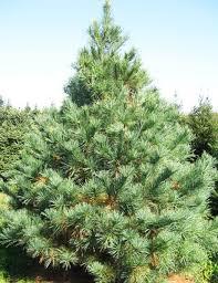 white pine trees white pine fort wayne trees