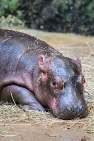 694 best hippos images on pinterest animals hippopotamus and