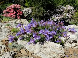 Alpine Rock Garden by Penstemon Davidsonii North American Rock Garden Society