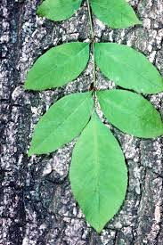 octoraro green ash octoraro native plant nursery