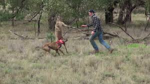 man punches a kangaroo in the face to rescue his dog original hd