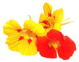 nasturtium flowers edible flowers fresh origins microgreens