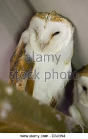 Scientific Name Of Barn Owl Portrait Of Barn Owl Or Church Owl Sitting And Watching