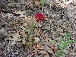 vascular plants of the gila wilderness vascular plants of the gila wilderness cymopterus lemmonii
