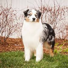 australian shepherd herding we were right miss p flame and swagger win at westminster