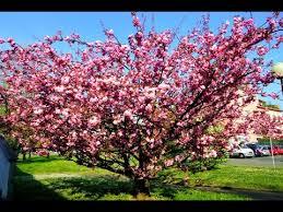 Peach Flowers Peach Flowers Watch In 4k Youtube