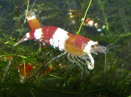 freshwater aquariums ornamental shrimp advanced