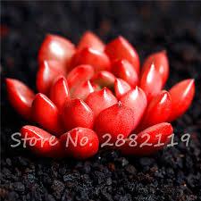 Cheap Flower Seeds - online get cheap flower seeds lithops aliexpress com alibaba group