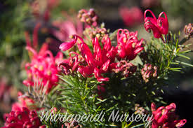 australian native hedge plants plants for clay soils native plant and revegetation specialists