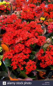 succulent house kalanchoe elossfeldiana succulent house plant with orange red