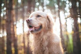 Causes Of Sudden Blindness In Dogs Senior Dog Health When Is It Time To See The Vet