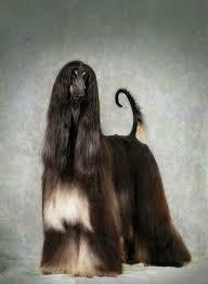 afghan hound judith light 447 best perros images on pinterest afghans afghan hound and