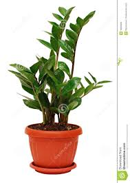 No Light Plants Zamioculcas Zamiifolia Plant Royalty Free Stock Images Image