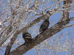 the hooting season enjoying great horned owls cool green science
