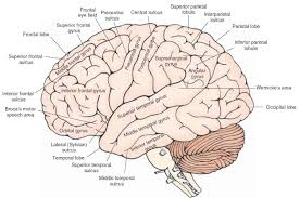 brain anatomy coloring book anatomy of a fetal pig lab answers choice image learn human