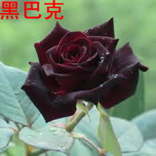 black roses for sale china black plants china black plants shopping guide at