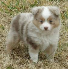 5 week old mini australian shepherd miniature australian shepherd puppy for sale in comanche tx adn