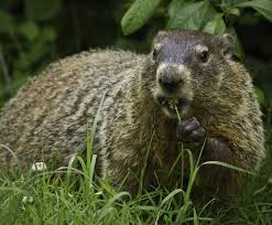 How To Get Rid Of Moles In The Backyard by How To Get Rid Of Groundhogs Woodchuck Pest Control The Old