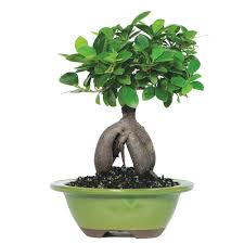 ginseng grafted ficus bonsai tree brussel s bonsai