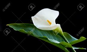 Calla Lily Flower Calla Lily Flower Easter With Green Leaf Isolated On Black