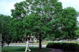 pistache tree on the tree guide at arborday org