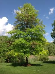 buy native plants pin oak forestry 2015 pinterest