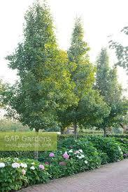 gap gardens row of pyrus calleryana chanticleer tuin de villa