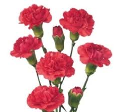 bulk carnations online wholesale bulk discount mini spray carnations hot pink