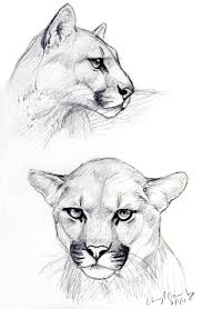 cougar sketches by silvercrossfox on deviantart
