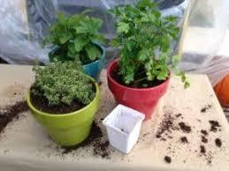 herbs indoors grow herbs indoors for winter